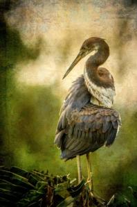 Wendi Schneider, Twisted (Tricolored Heron) (2015)