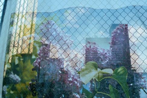 Lilac Festival Scrim, Rochester, New York (2013)