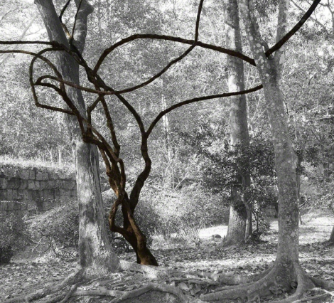 Vine in Forest (2015)